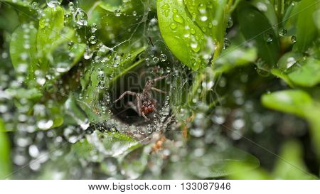 Macro of spider in front of its nest on boxtree cobweb covered by water drops after the rain