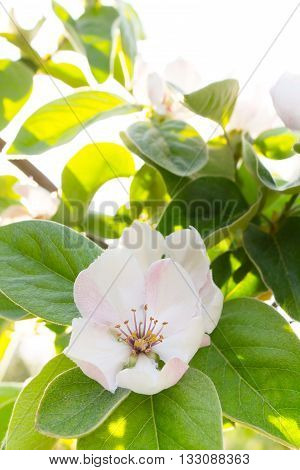 White quince flower blooming around green leaves in sunlight