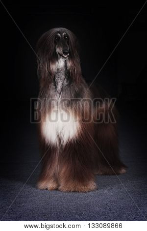 beautiful dog the Afghan stands on a black background and looks