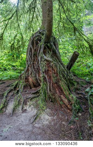 Roots are uncovered in a tree is the Pacific Northwest.