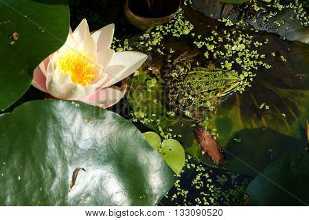 Big water frog in a pond in summer