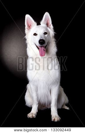 White Swiss Shepherd in black studio posing