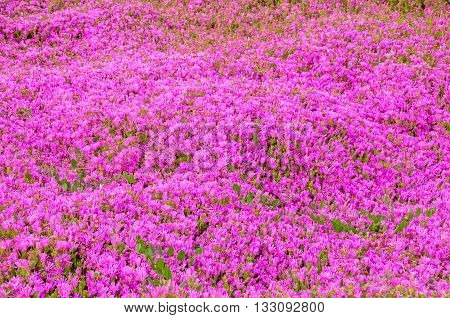 Pink delosperma (Trailing iceplant Hardy ice Pink carpet) flower background. Horizontal.
