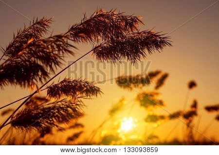 Reed late fall against the evening sky