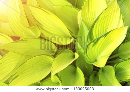 Fresh green leaves of a hosta on sunny background