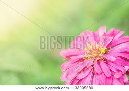 Closeup pink zinnia flower on blurred background