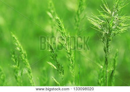 Grass with spikelets, close up