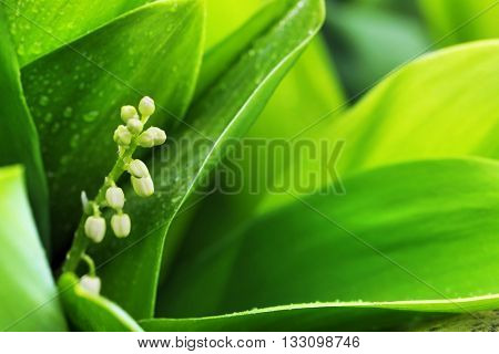 Lily of the valley, close up