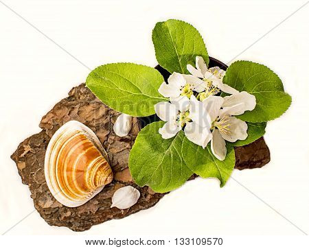 Shell and apple flowers trees on eucalyptus bark. Flat lay