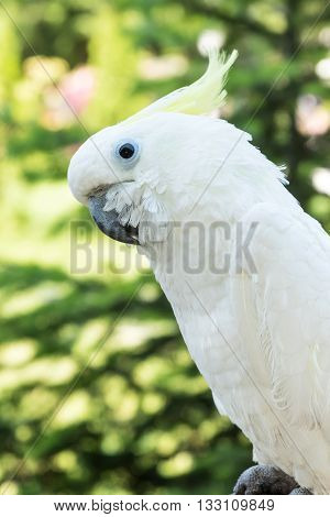 Large white cockatoo parrot close-up against a blurred background of greens