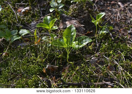 in summer forest pine needles on the ground cover plants grow