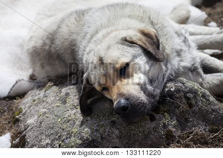 Homeless dog sleeps on stone for pillow