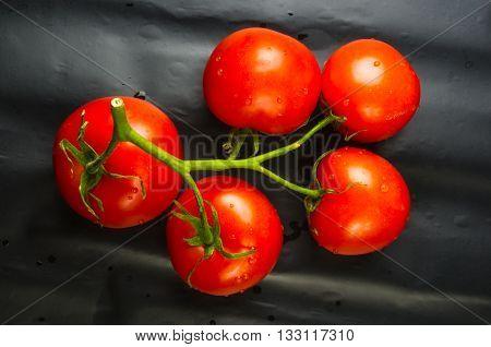 stilllife - tomatoes on twig on black background