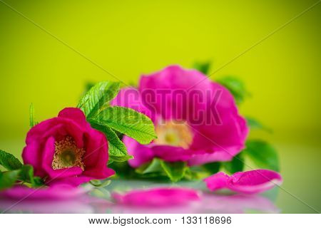 flower blooming wild rose on a green background