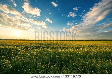 Yellow Rape Field With Sunset Sky