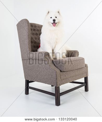 Adorable samoyed dog on white sofa