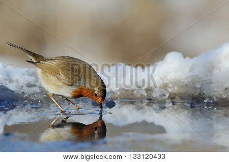 A robin is drinking water in the wood