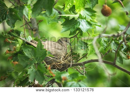 Collared dove (Streptopelia decaocto) in his nest