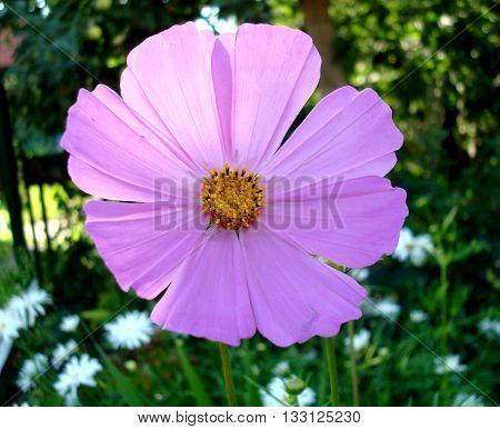 Purple flower. Красивый цветок в летнем саду.