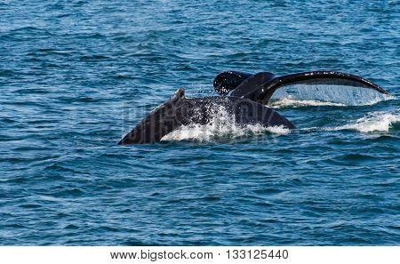 Humpbacks near Juneau Alaska. With breach and fluke display.