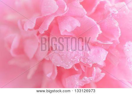 Tender Wet Pink Peony Flower Macro Background