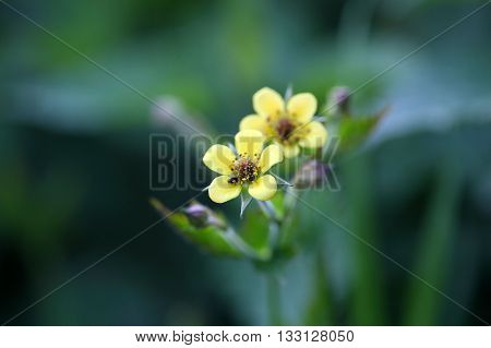 Flower of a wood avens herb (Geum urbanum) a plant used in traditional medicine.