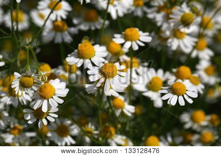 Chamomile flowers (Matricaria chamomilla) an important plant for herbalism and pharmacy.