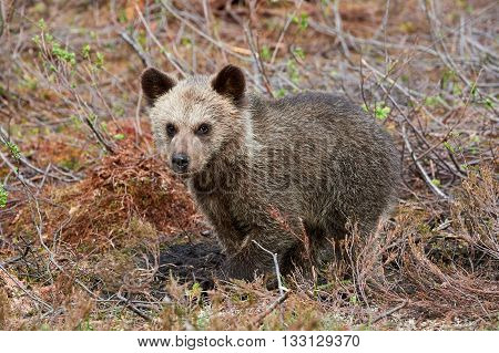 Brown bear cub sitting between cranberry plants in the finnish taiga