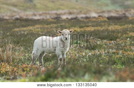 Curious Cute Lamb Among Green Landscape at Spring