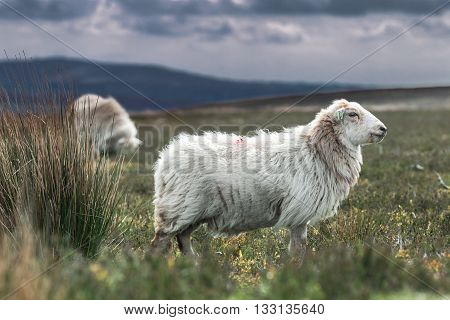 Welsh Sheep on Wild Hily Pastures Background