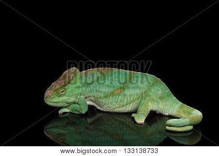 Parson Chameleon, Calumma Parsoni Orange Eye Rest on Mirror Isolated on Black Background, Side view
