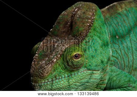 Closeup Head of Green Parson Chameleon, Calumma Parsoni Orange Eye Rest on Mirror Isolated on Black Background