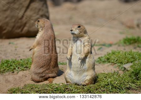 A couple prairie dogs sitting up by a hole