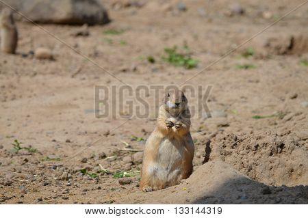A prairie dog sitting up by a hole