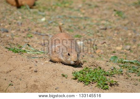 A curious prairie dog checking out the surroundings