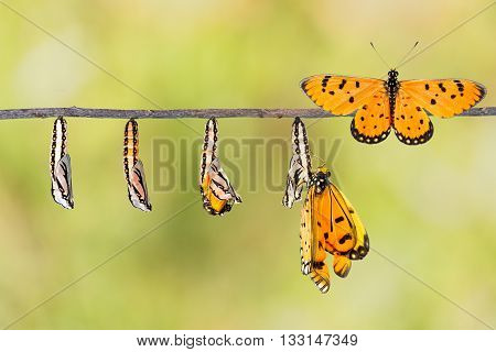 Life Cycle Of Tawny Coster Transform From Caterpillar To Butterfly