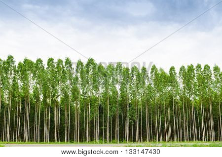 Eucalyptus forest in Thailand plats for paper industry