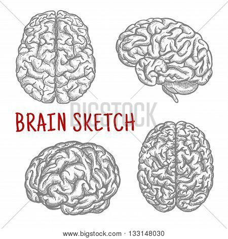 Brain sketch symbols with engraving illustrations of anatomically detailed human brain at different angles. Great for intellect and mind concept or t-shirt print design usage