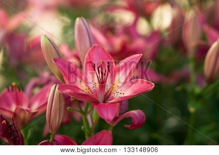 Pink Lilly in the garden and blirred background