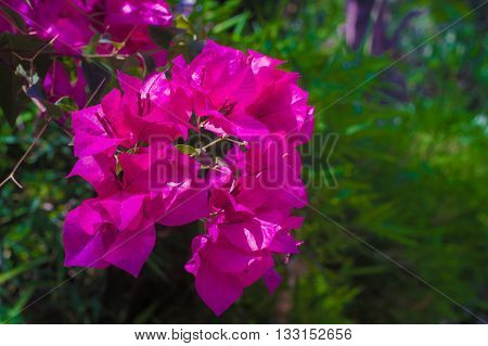 Bougainvillea flower so beautiful in nature in thailand