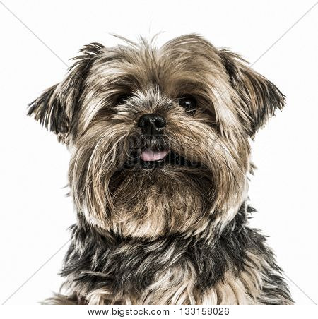 Close-up of a Yorkshire Terrier sticking the tongue out and looking at the camera, isolated on white