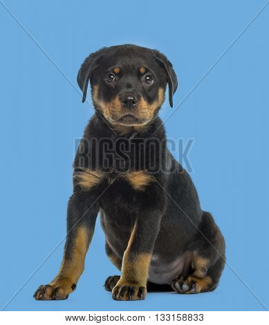 Rottweiler puppy looking at the camera, isolated on blue background
