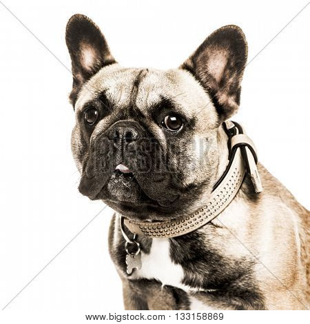 Close-up of a French Bulldog sticking the tongue out and looking at the camera, isolated on white