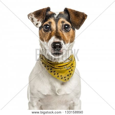 Close-up of a Jack Russell Terrier looking at the camera, isolated on white