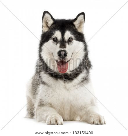 Alaskan Malamute lying down and looking at the camera, sticking the tongue out, isolated on white
