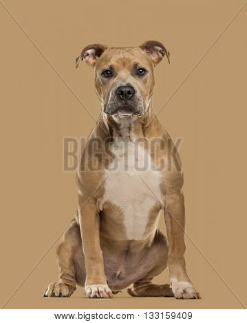 Staffordshire Bull Terrier puppy looking at the camera, isolated on beige background