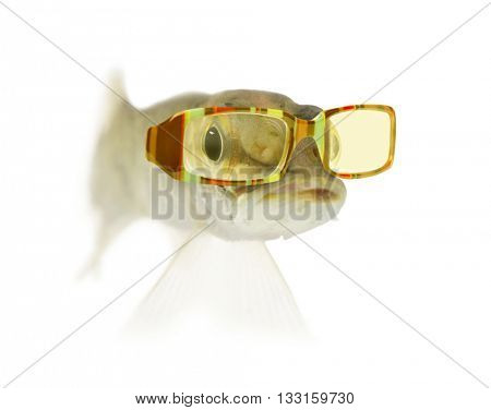 Young Northern pike - Esox lucius, wearing sunglasses, swimming, isolated on white