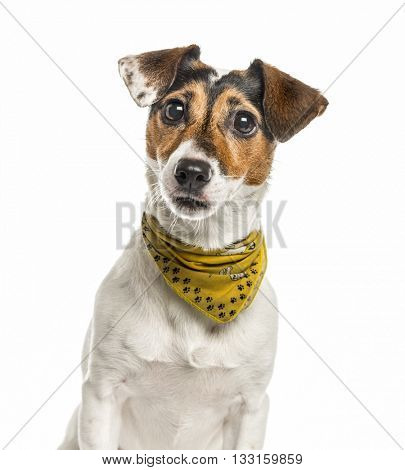 Close-up of a Jack Russell Terrier isolated on white