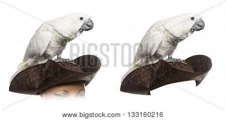 White Cockatoo on a pirate hat, isolated on white