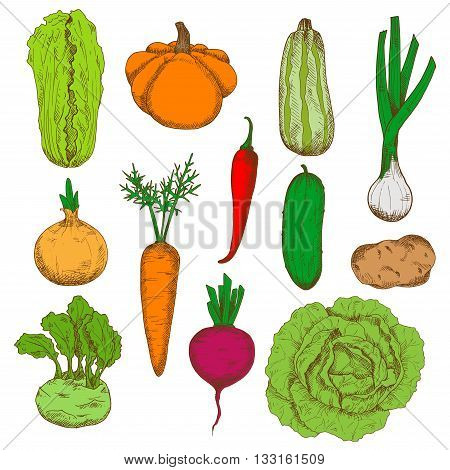 Healthy and nourishing potato, pumpkin and beet, onions and kohlrabi with fresh leaves, green cucumber, zucchini and cabbages, juicy carrot and spicy red chili pepper vegetables sketches. Fresh harvested veggies for agriculture design